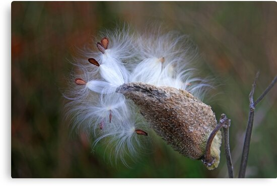 Milkweed by Jim Cumming
