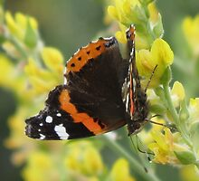 Red Admiral Butterfly by HolidayMurcia
