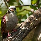 Crested Quail Dove by Winston D. Munnings