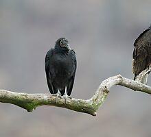 Vultures by (Tallow) Dave  Van de Laar