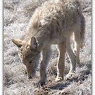 COYOTE  SERIES 7 0F 8 by Betsy  Seeton