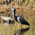 White Faced Heron With Fish Canberra Australia by Kym Bradley