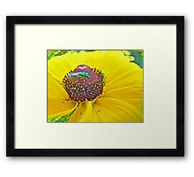 Solitary Bee On Black-Eyed Susan  -  Augochlora pura  -  Sweat Bee Framed Print