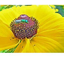 Solitary Bee On Black-Eyed Susan  -  Augochlora pura  -  Sweat Bee Photographic Print