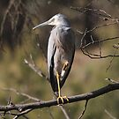 White Faced Heron, Proud as Punch  Canberra Australia  by Kym Bradley