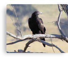 Wild Wedge Tailed Eagle Canberra Australia  Canvas Print