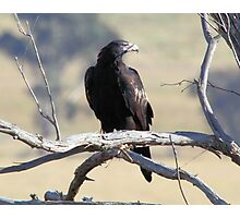 Wild Wedge Tailed Eagle Canberra Australia  Photographic Print