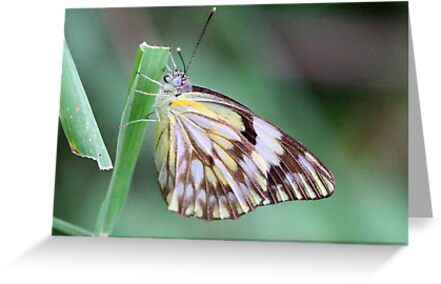 Brown veined migrant butterfly by jozi1