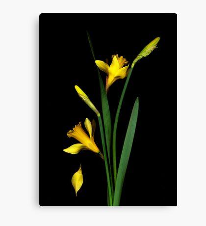 Daffodil / Jonquil ~ Narcissus Falling Canvas Print