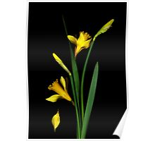 Daffodil / Jonquil ~ Narcissus Falling Poster
