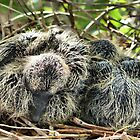 Morning Dove Baby Birds by Carla Jensen