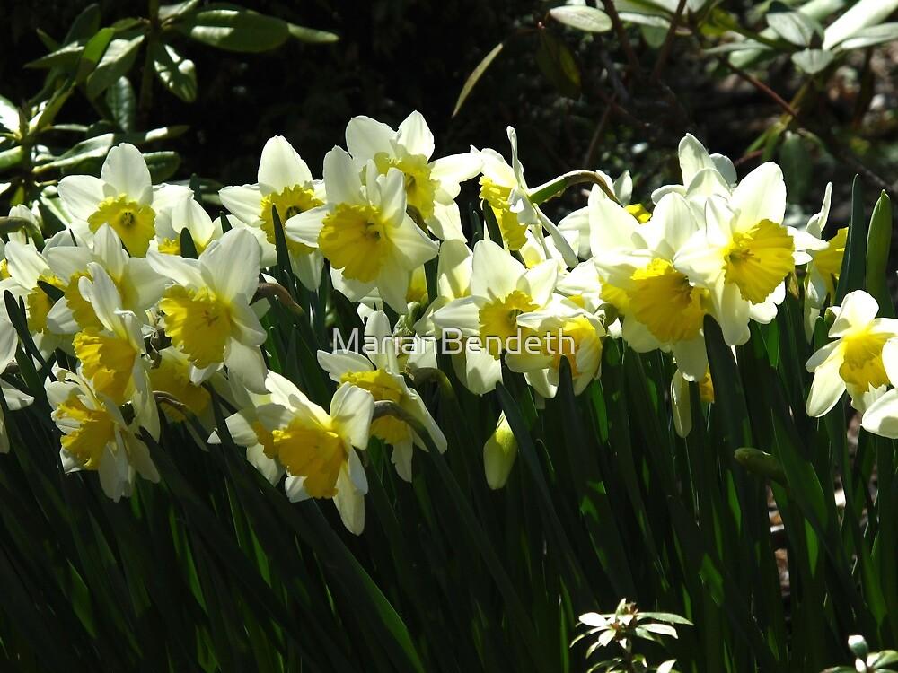 Daffodil glory by MarianBendeth