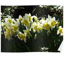 Daffodil glory Poster