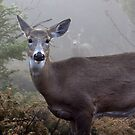Through the fog - White-tailed Deer by Jim Cumming