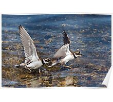 Little Ringed Plovers Poster
