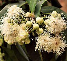 Australian Native Flower by deagon