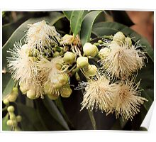 Australian Native Flower Poster