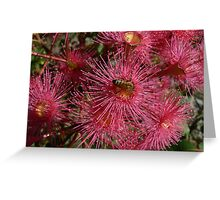 Corymbia - Red flowering gum, our backyard, Frankston South Greeting Card