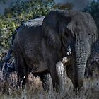 Bull elephant in Etosha , Namibia by Matt Eagles