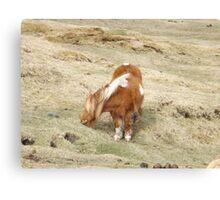 Shetland Pony eating Canvas Print