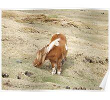 Shetland Pony eating Poster