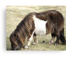 Brown Shetland Pony eating  Canvas Print