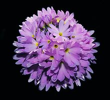 Primula Denticulata Flower by xxkellywxx
