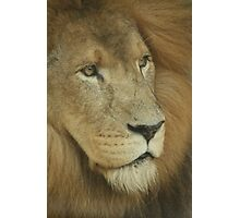 Lion Looking Photographic Print