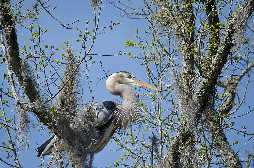 High in the Trees (Great Blue Heron) by Photography by TJ Baccari