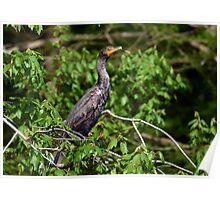 Juvenile Double Crested Cormorant Poster