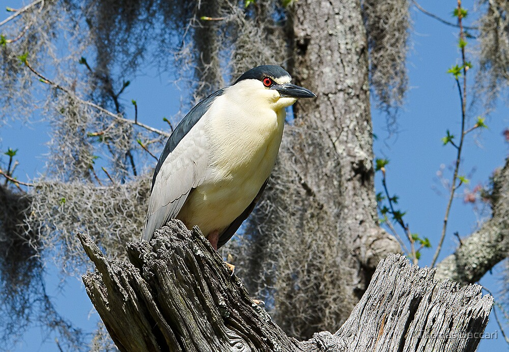 Night Heron and Spanish Moss by TJ Baccari Photography