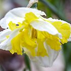 Delicate Daffodil by Mikell Herrick