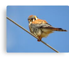 Kestrel Under Blue Skies Canvas Print