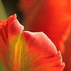 Tulip Bokeh by Lynn Gedeon