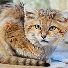 Sand Cat by Mark Hughes