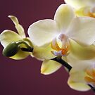 A Yellow Orchid by Linda Makiej