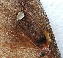 moth wing close up by sparkleshine