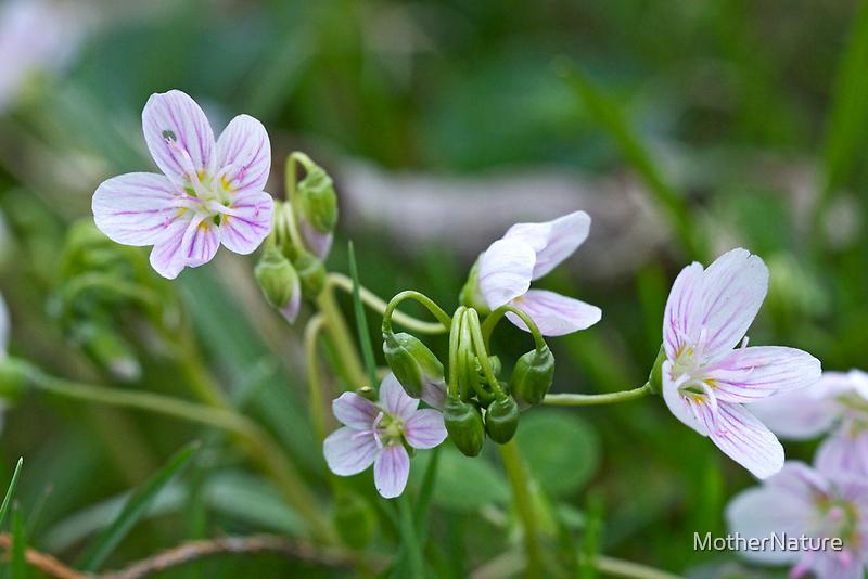 Carolina Spring Beauty - Wide-leaved Spring Beauty - Claytonia caroliniana by MotherNature
