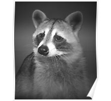 Beautiful Raccoon Black And White Portrait Poster