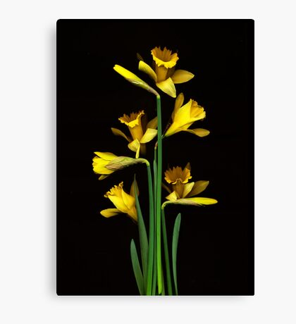 Daffodil / Jonquil ~ Narcissus Bouquet Canvas Print