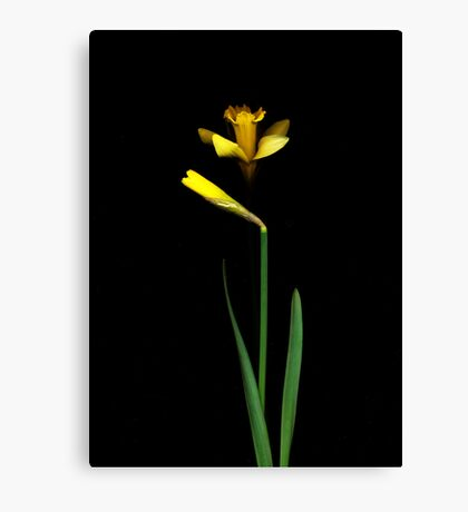 Daffodil / Jonquil ~ Narcissus Couple Canvas Print