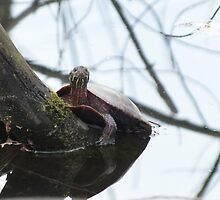 Painted Turtle by ClayBearStudio