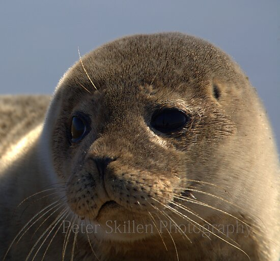 Young grey seal  by Peter Skillen