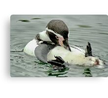 Preening Penguin Canvas Print
