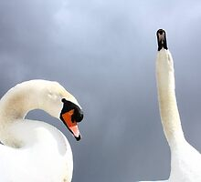 Posing Mute Swans by C.A. Rowe
