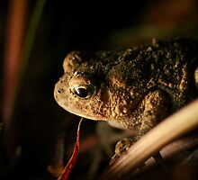 Drama on Centerville Road, American Toad (Bufo americanus)  by Dave Huth