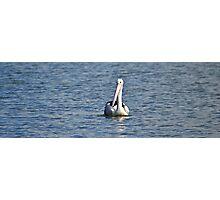 Pelican on Lake Macquarie Photographic Print