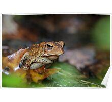 Murphys' Driveway, American Toad (Bufo americanus)  Poster