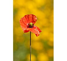 Papaver rhoeas Photographic Print