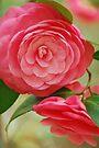 Camellia by JHRphotoART